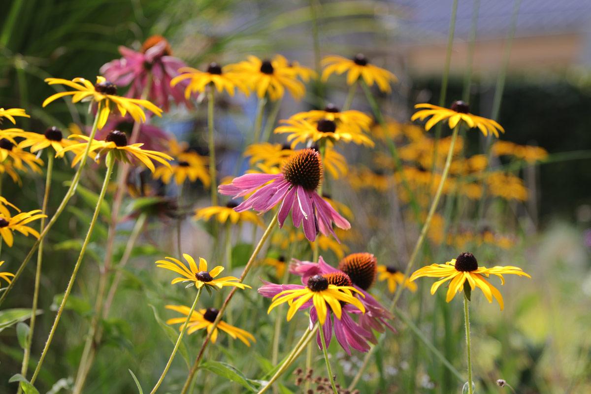 Vild-have-i-Nyråd-Haveselskabet-Næstved-Michael-Krogh-blomster-IMG_7760