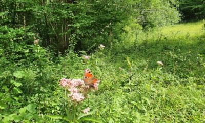 Jydelejet Møns Klint sommerfugl dag påfugleøje