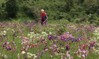 Vild med vilje Høvblege på Møn, og blomsterne er akelejer